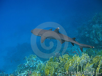 Whitetip reef shark and reef