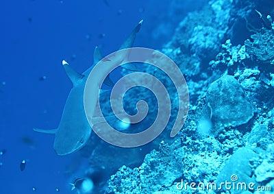 Whitetip shark