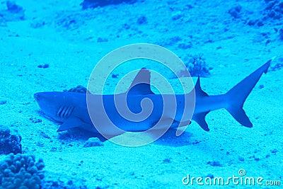 Whitetip shark on sand