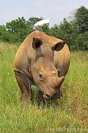 Free Whito Rhino Stock Photos - 7865183