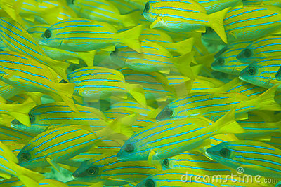 Whole frame of shoal of Bluestripe snapper fish
