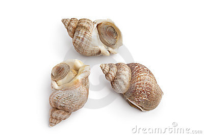 Whole fresh common whelk