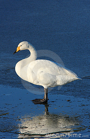 Whooper on Ice