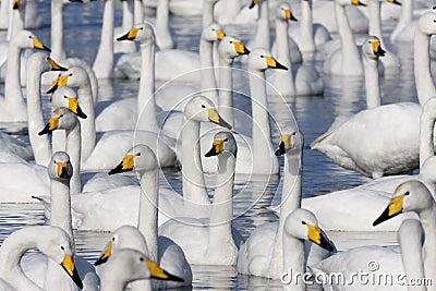 Whooper swan, Cygnus cygnus