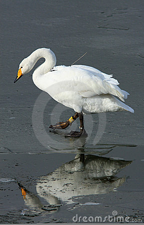 Whooper Swan with GPS tracking device