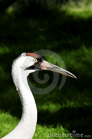 Free Whooping Crane Royalty Free Stock Photography - 19119777