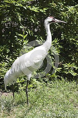 Whooping Crane Endangered Species Waterfowl Bird