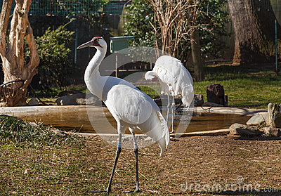 Whooping Crane Washington DC Zoo