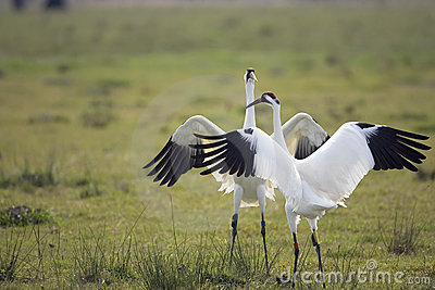 Whooping Cranes doing the mating dance