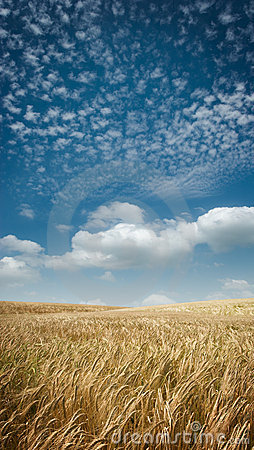 Free Wide Angle Golden Fields Royalty Free Stock Photo - 5678135