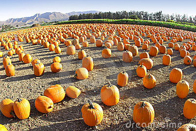 Wide-Angle Pumpkin Patch