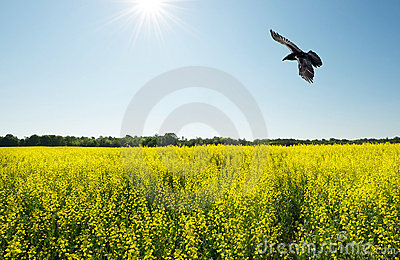 Wide angle raven over field.