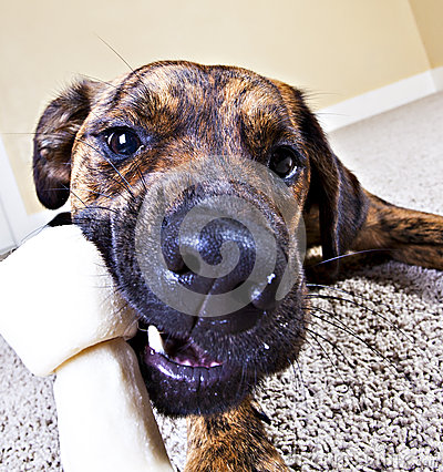 Free Wide-angle Shot Of A Puppy Chewing On A Bone Royalty Free Stock Photo - 24642575