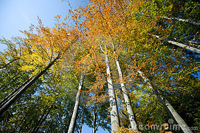 Wide autumn trees