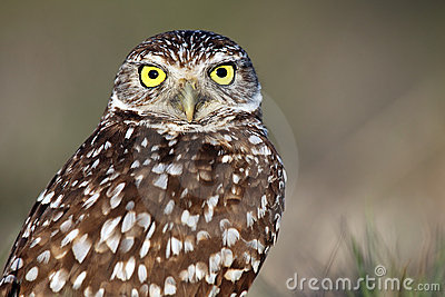 Wide-Eyed Burrowing Owl