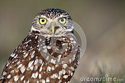Wide-Eyed Burrowing Owl