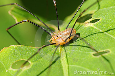 Wide-legs spider - Pholcus-phalangioides.
