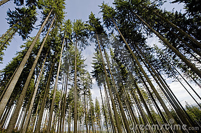 Wide pine trees