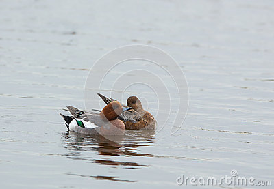 Widgeon duck couple