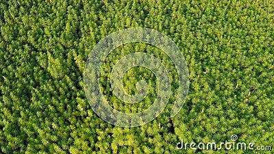 Widok z lotu ptaka na piękne pole konopi marihuany CBD ukazujące horyzont zbiory wideo