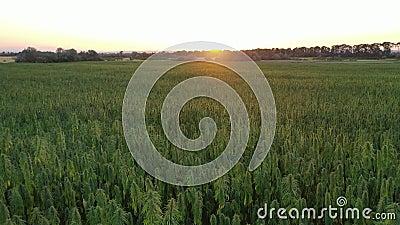 Widok z lotu ptaka na piękne rośliny konopi marihuany CBD ukazujące horyzont i pole w zachodzie słońca zbiory wideo