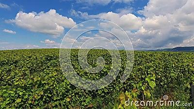 Wieś winnicy rolnictwa krajobrazu wytwórnii win żniwo Ukraina Europa zbiory wideo