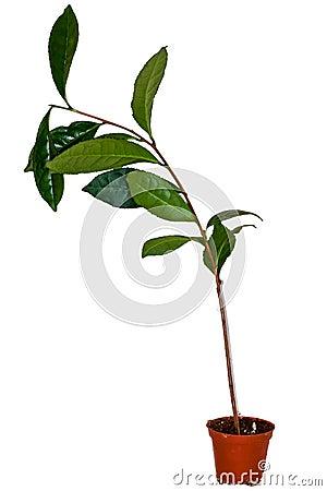 Świeża herbaciana roślina