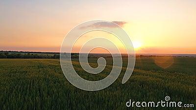 Wieczorne pole pszenicy o zachodzie słońca zbiory