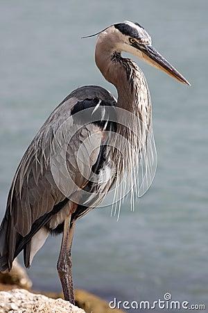 Wielka niebieska heron
