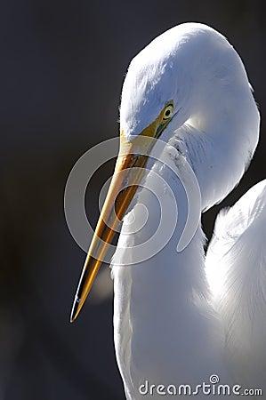Wielki ardea Alba egret