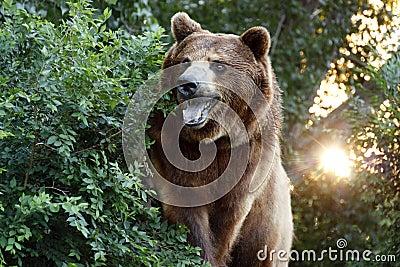 Wielki grizzly niedźwiedź z położenia słońcem i Ciężkim Foilage