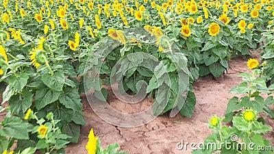 Wielki sunflowerfield w kraju zdjęcie wideo