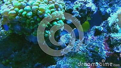 Wielo- barwiony tropikalny rybi pływanie w koralach akwarium zakończenie up zdjęcie wideo