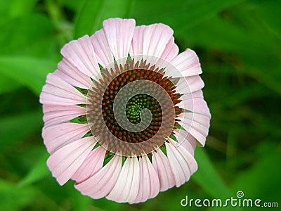Świeżo Kwitnący Purpurowy Coneflower