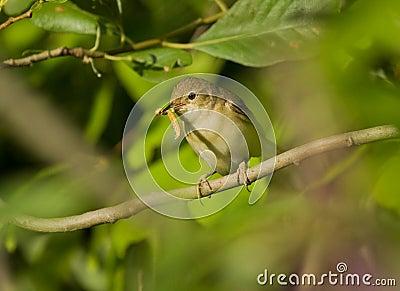 Wierzbowy Warbler z gąsienicą