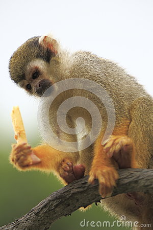 Wiewiórcza małpa 3