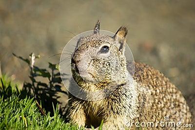 Wiewiórka