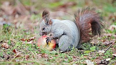 Wiewiórka z jabłkiem