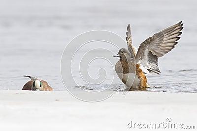 Wigeon pair