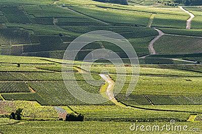 Wijngaard in Frankrijk