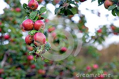 Wild äpplen