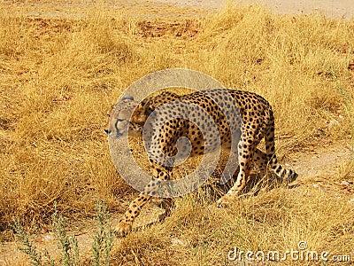 A wild african cheetah walking