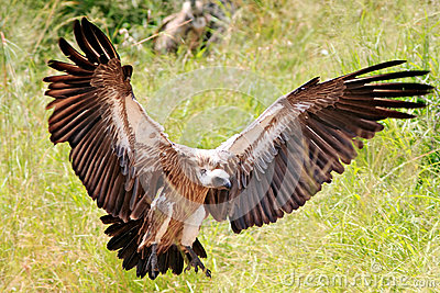 Wild african eagle