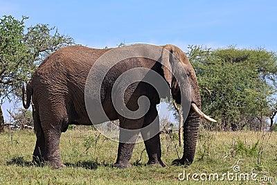 Wild African Elephant in Tanzania