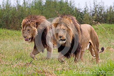 Wild african lions