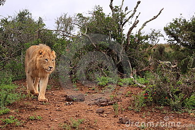 Wild african male lion hunting