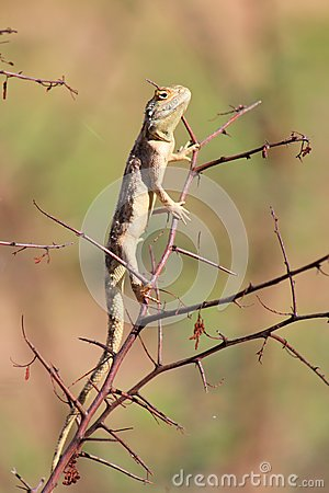 Wild African Reptiles, Blue headed lizzard, Young
