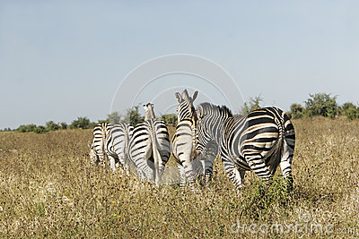 Wild african zebra herd