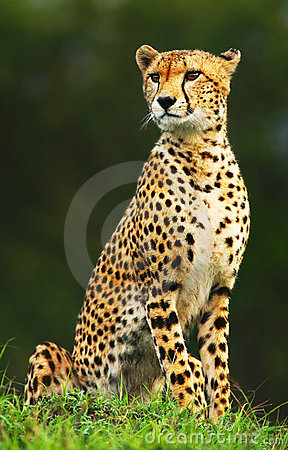 Wild afrikansk cheetah
