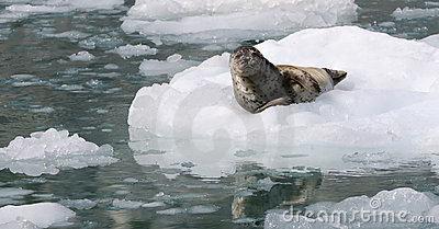 Wild Alaska seal on the ice